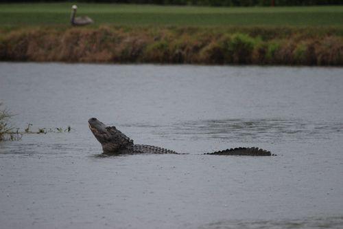 Big Gator (2)